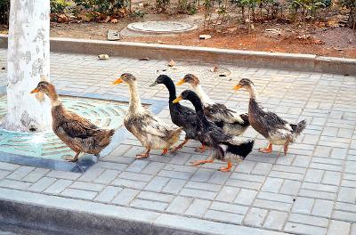 duck-21262_640